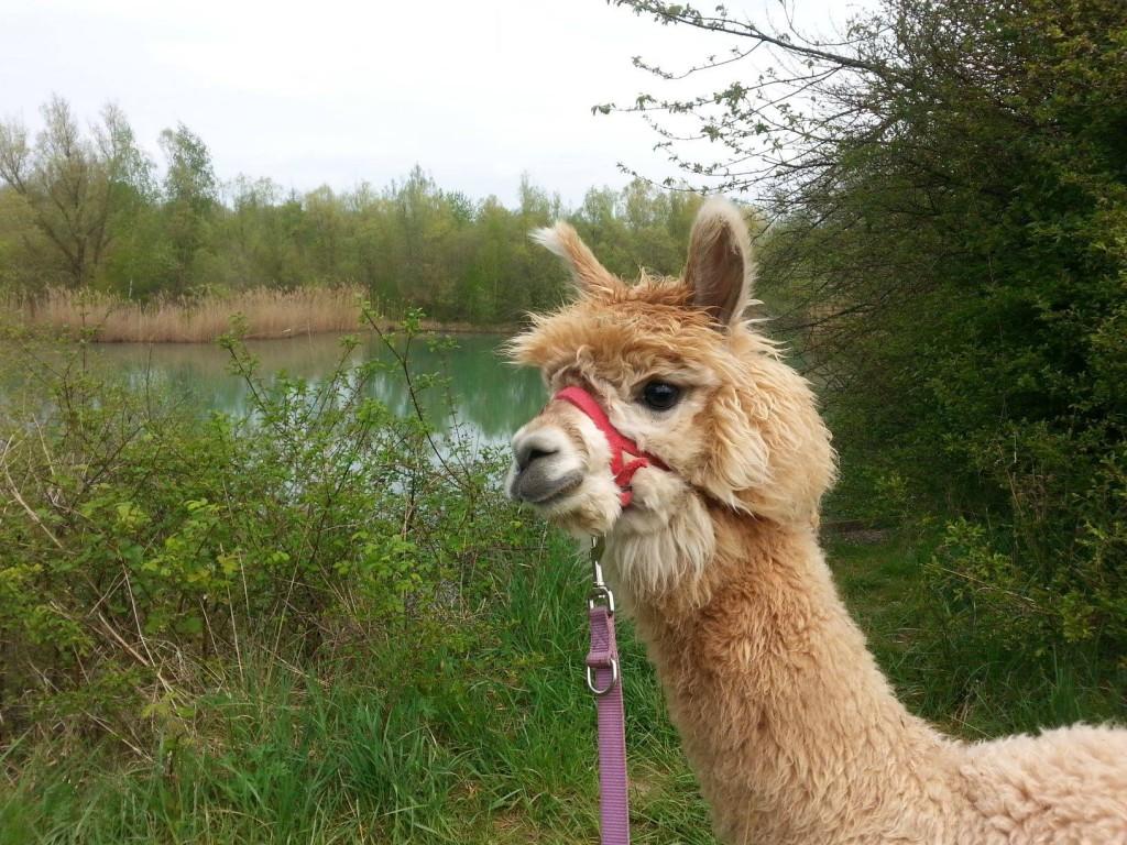Alpacas sind doch süß, oder? (Foto mit freundlicher Genehmigung von Christian Schmid)