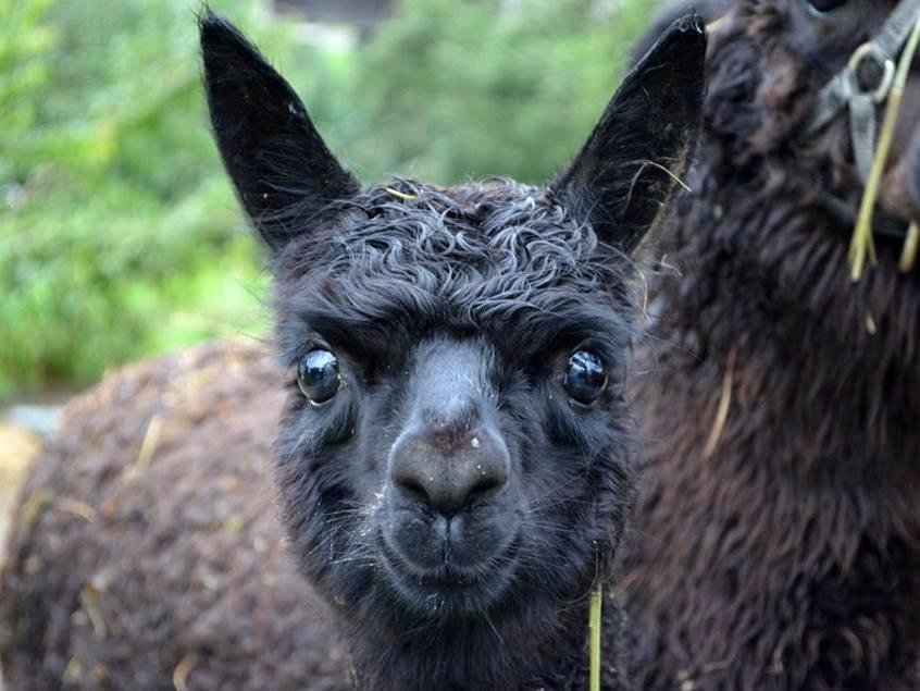 Alpacas sind faszinierende Tiere. (Foto mit freundlicher Genehmigung von Christian Schmid)